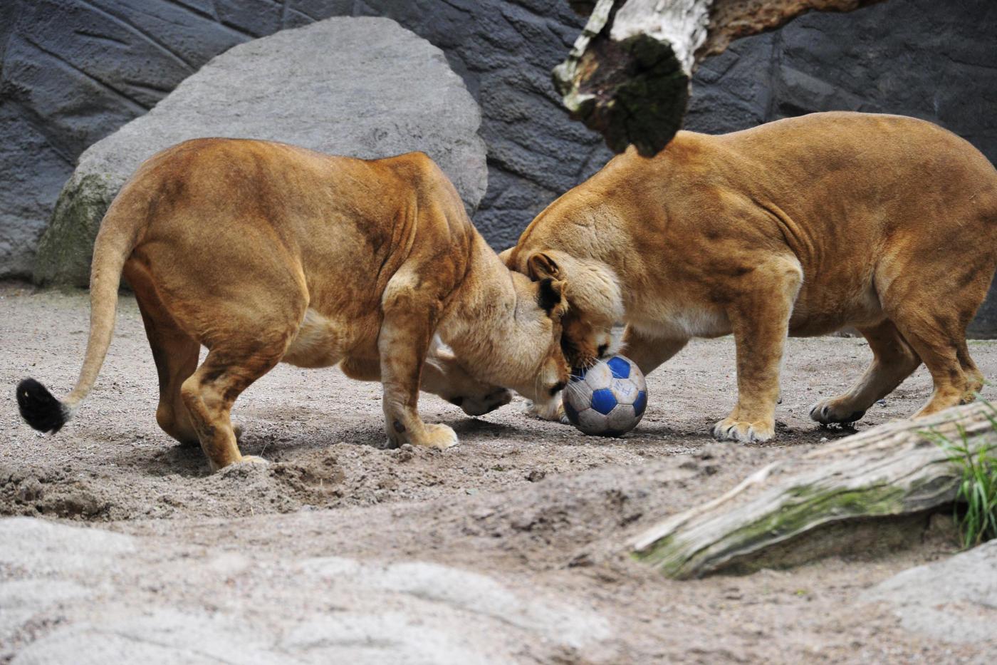 Partita a calcio tra leoni allo zoo di amburgo blitz - Agenzie immobiliari ad amburgo ...