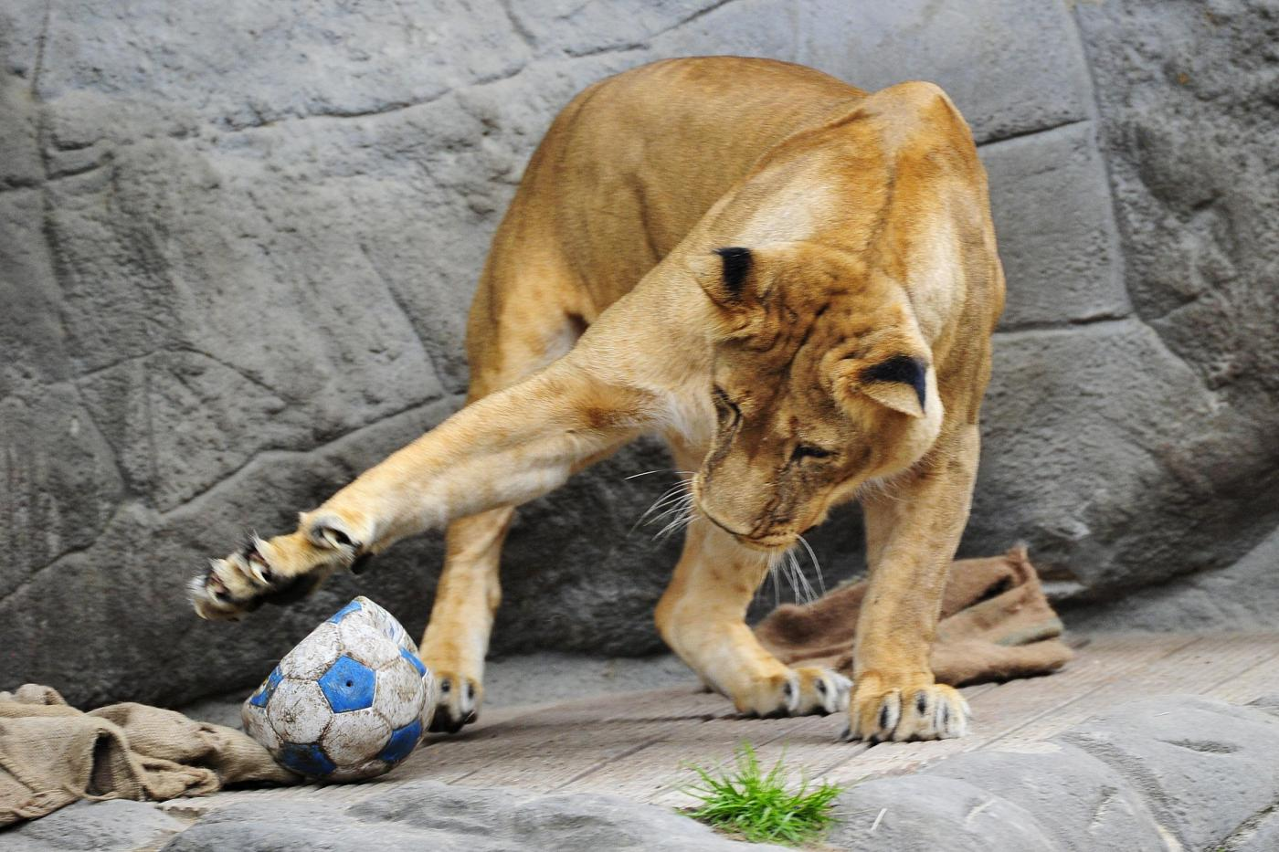 Giocare a calcio con i leoni lo zoologo kevin richardson - Agenzie immobiliari ad amburgo ...
