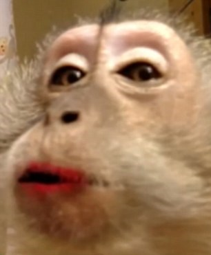 Usa Trucca La Scimmia Che Ha In Casa E Mette Filmato Sul Web 4