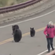 VIDEO YouTube - Famiglia di orsi insegue turisti nel parco di Yellowstone
