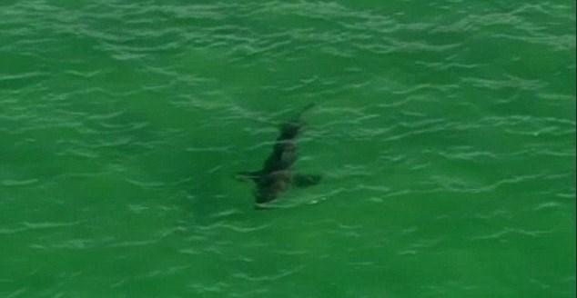 Elicottero Squalo : Australia squalo nuota verso surfisti elicottero della