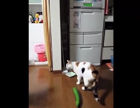 Video Youtube Il Gatto Terrorizzato Da Un Cetriolo 03 Blitz
