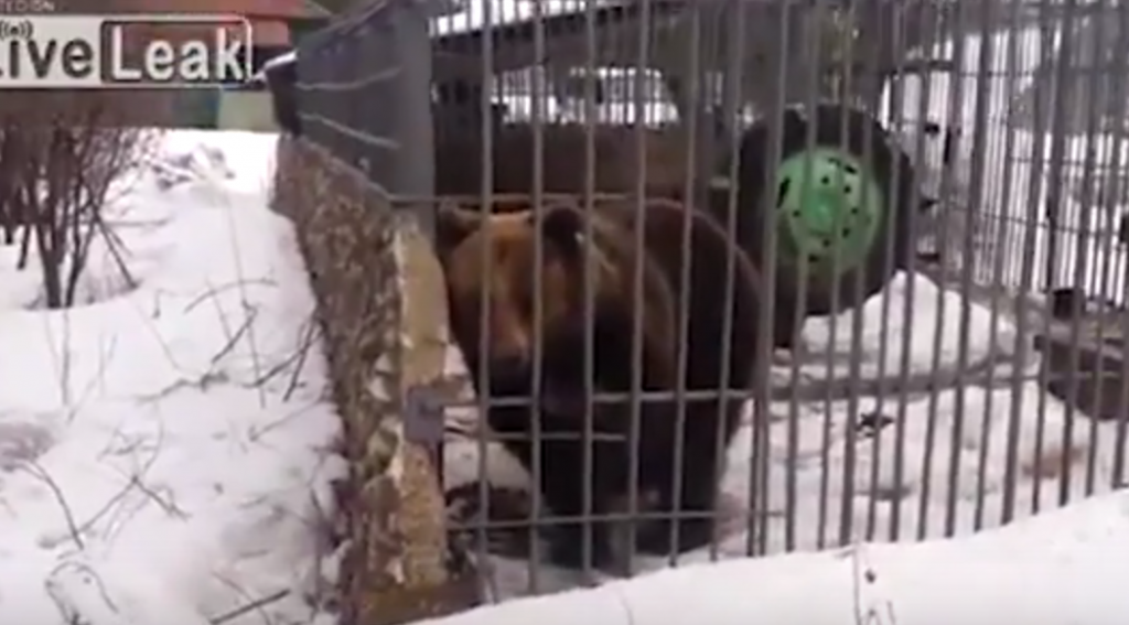 Youtube ubriaco mette la mano nella gabbia e l 39 orso for Youtube la gabbia