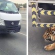 Leone in autostrada a Doha: traffico in tilt10