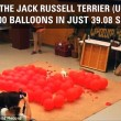 Jack Russell rompe 100 palloncini in 39 secondi3