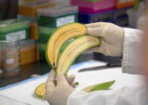 Banana arancione, il frutto ricco di vitamine contro la fame in Uganda