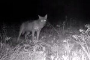 Lupo solitario vicino Milano: avvistato in pianura nel Parco del Ticino