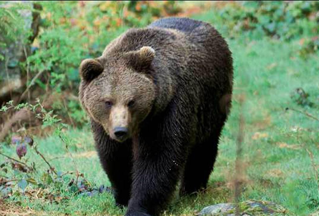 Orso ferisce uomo in trentino lo vogliono abbattere ira - Immagini di orsi da colorare in ...
