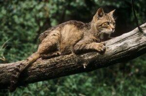Liguria: nei boschi è tornato il gatto selvatico