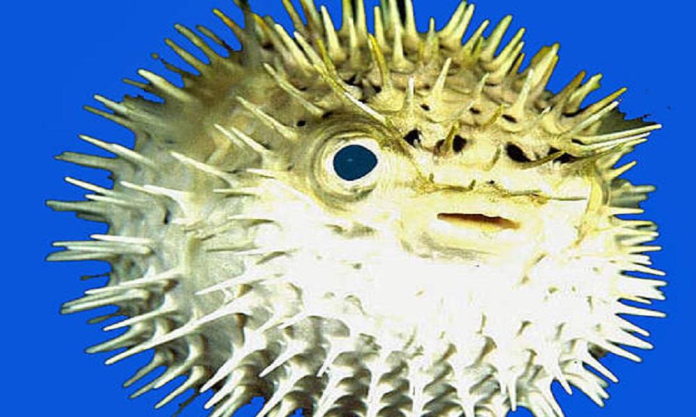 Pesce palla pescato a molfetta il decimo in italia dal 2003 for Pesce palla immagini