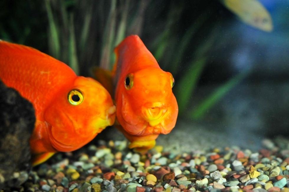 Canada pesci rossi giganti invadono il lago qualcuno for Pesci rossi quanto vivono