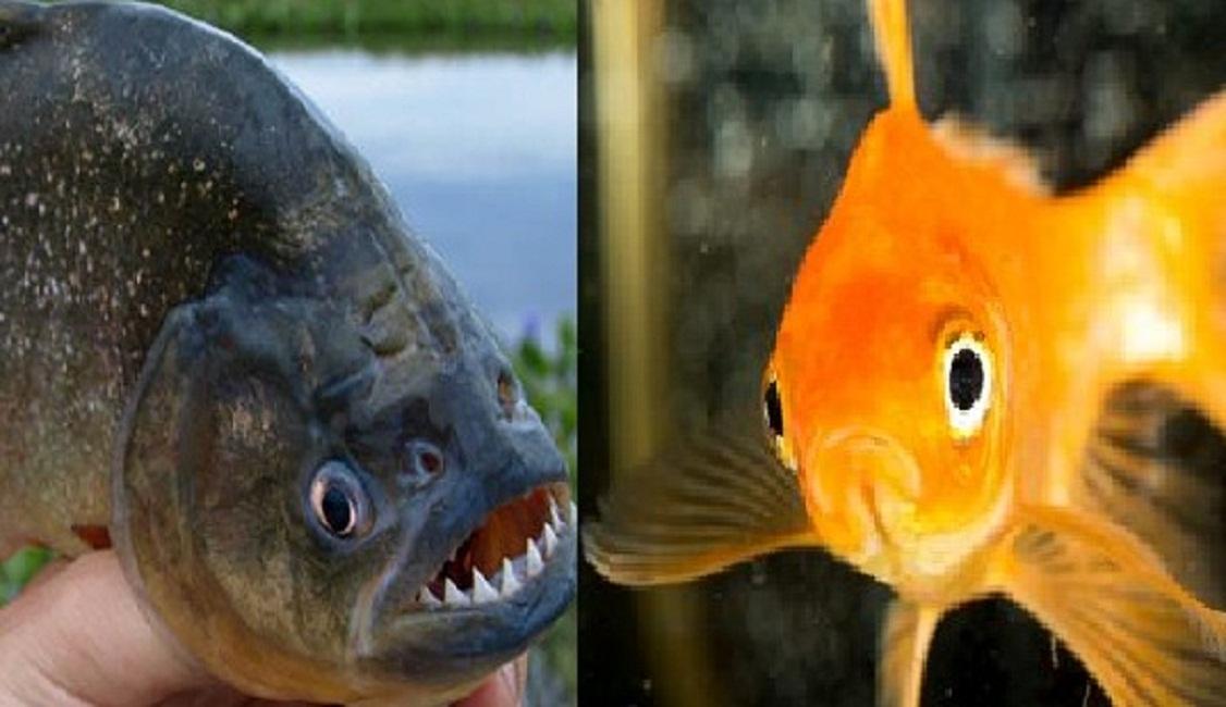 Pesci rossi e piranha sono parenti lo dice il dna for Pesci rossi costo