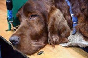 La sentenza della Cassazione contro il collare antiabbaio per i cani