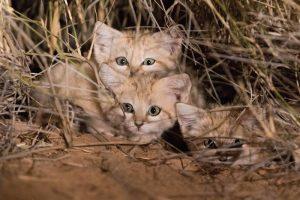 Sono stati filmati per la prima volta i gatti delle sabbie