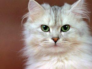 Perché I Gatti Perdono Il Pelo Quando Ci Si Deve Preoccupare