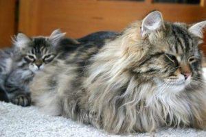 Il gatto siberiano è indicato anche per chi soffre di allergia
