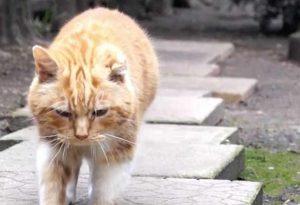Il gatto Ginge guarisce dal tumore con olio di cannabis: lo stavano per sopprimere
