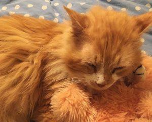 Gatto Toby, abbandonato due volte: fa 19 km per tornare dalla famiglia ma loro lo rifiutano