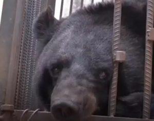 Youtube Cucciolo Cane Orso Cina Mastino Tibetano