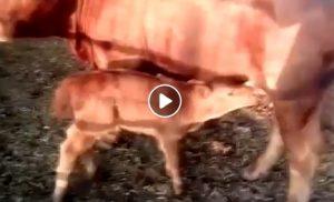 Risultati immagini per Israele, è nato il vitello rosso