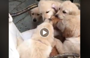 Gatto Rosso Circondato Da Cani Elo Riempono Di Baci