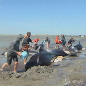 Nuova Zelanda, 12 balene incagliate: volontari tentano di salvarle