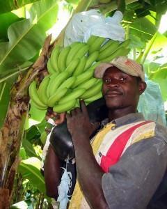 Banane addio, stanno sparendo dalle piantagioni