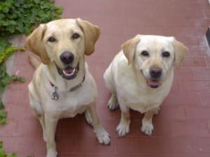 Capodanno, record di cani in fuga: terrorizzati dai botti