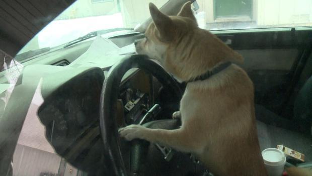 Chihuahua ruba auto e si mette alla guida