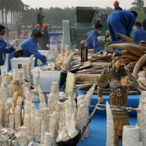 Cina, addio al traffico di avorio: 6 t distrutte contro il contrabbando di zanne
