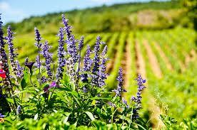 «Vado in cella ma non uso i pesticidi» Il produttore che divide il mondo del vino