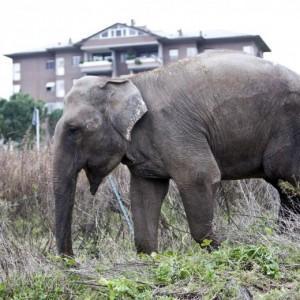 Ignazio Marino indagato dopo la fuga degli elefanti dal circo di Roma