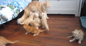 Mamma gatta sbaglia il salto: i cuccioli scappano via