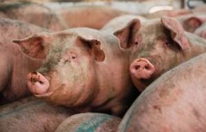 Castiglion Fiorentino: rogo in una azienda agricola, bruciati vivi mille maiali