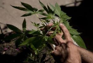 Marijuana libera, Torino è la prima città d'Italia che vota sì