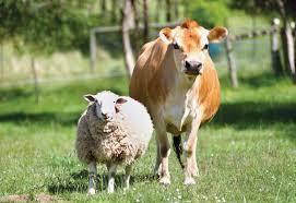 Respinto da mucca, tenta sesso con pecora: giuria scoppia a ridere al processo