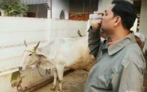 Bere urina di mucca per combattere il cancro: in India si fa così