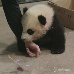 Bao Bao, il cucciolo di panda gigante dello zoo di Washington