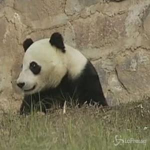 Panda gigante di 4 anni trasferito in Cina dagli Usa