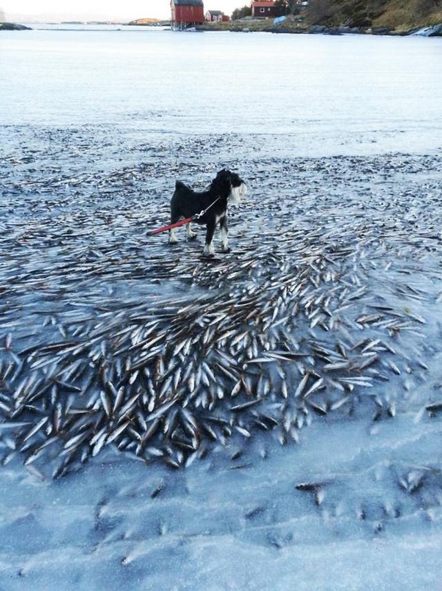 Norvegia, aringhe morte nella baia: colpa dell'acqua del mare congelata