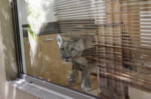 Cile, torna a casa e trova un puma