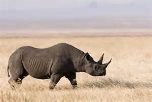 Un rinoceronte nero