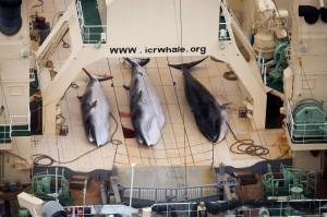 """Giappone, Sea Shepherd denuncia: """"Baleniere a caccia nel santuario protetto"""""""