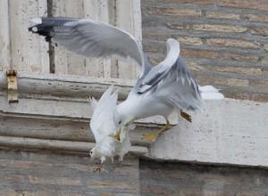 Vaticano, la Colomba attaccata: segno divino? No, invasione dei gabbiani a Roma