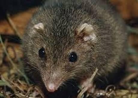 ntechino, il marsupiale che fa sesso fino a morire di sfinimento