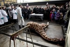 """Danimarca, altra giraffa Marius """"condannata"""" a morte nello zoo Jyllands Park..."""