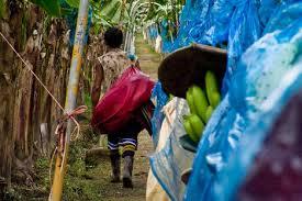 Banane delle Antille, tossici 3 su 5 i pesticidi utilizzati nelle piantagioni