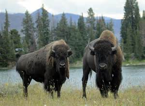 Bisonti a Yellowstone Park