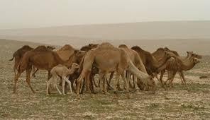 Bibbia riscritta: la prima volta non c'erano i cammelli