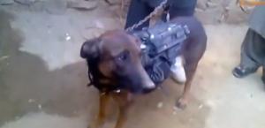 """Talebani mostrano """"Colonel"""", cane prigioniero trattato come un militare"""